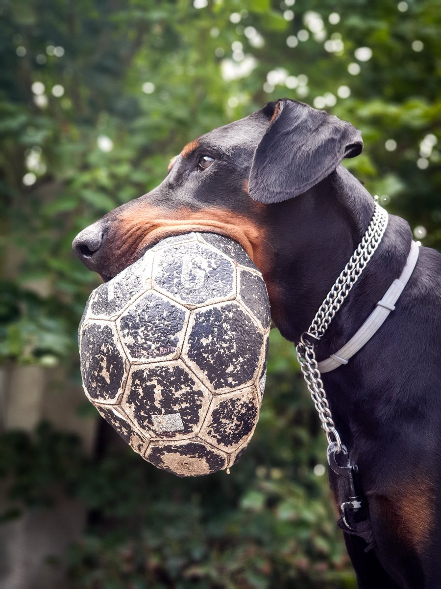 Hello friends! a little play with Inko, we wish you a very nice day & a good weekend  #doberman #dogsoftwitter #France pic.twitter.com/QRKWFDEfZB
