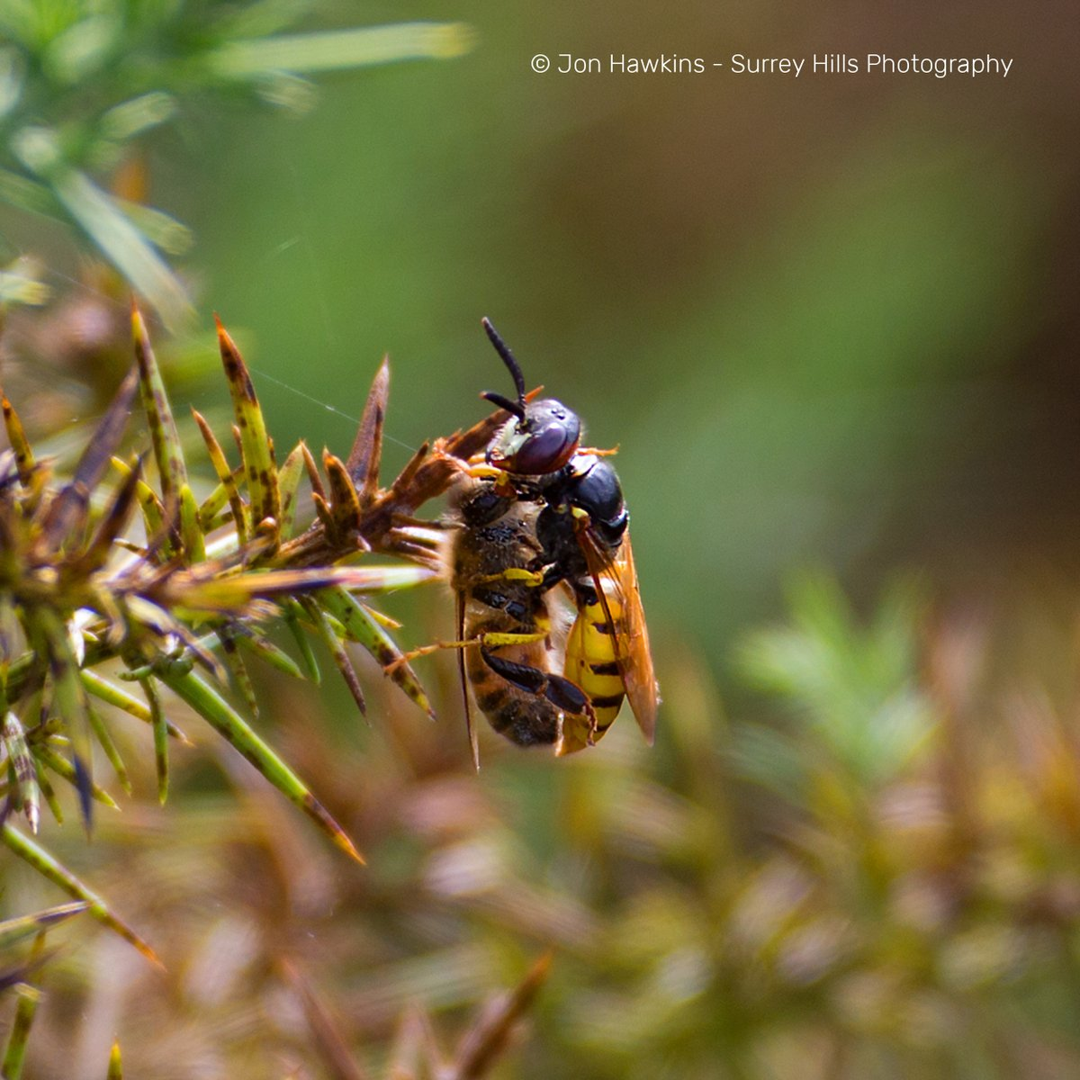 One of our largest and most impressive solitary wasps, bee wolves prey on honey bee workers. They paralyse them with a sting & carrying them back to their burrow where the wasp's larva will eat them alive when it hatches. Find them on sandy heaths like Ockham and Wisley Commons. <br>http://pic.twitter.com/nBiJzKGY3l