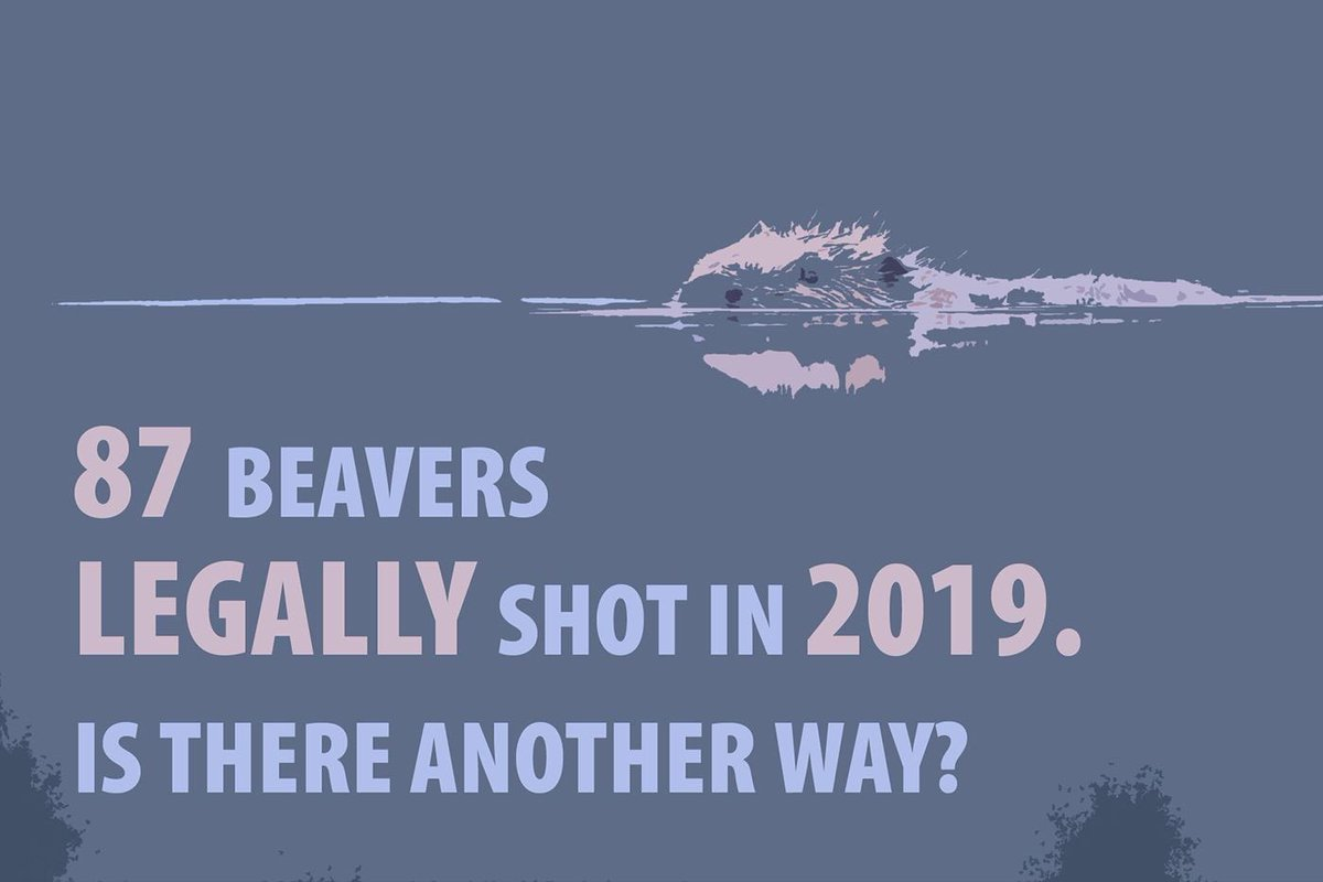 In May '19 beavers became a protected species in Scotland, but 87 were legally shot under licences the same year. Our new #Rewilding Story explores our relationship with beavers & suggests a more efficient way to reap the rewards of this wetland engineer. scotlandbigpicture.com/rewilding-stor…