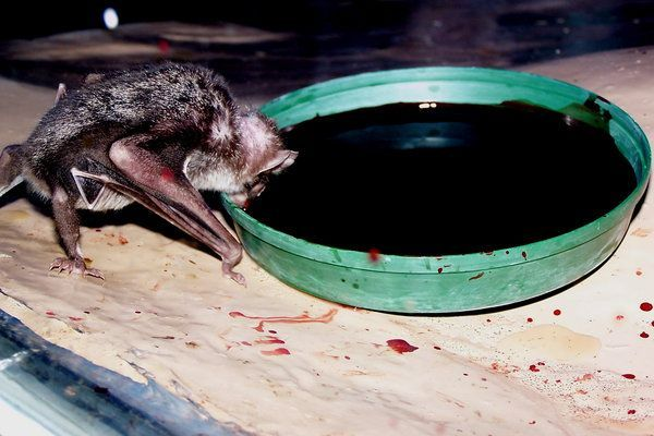 Vampire bats drinking blood.