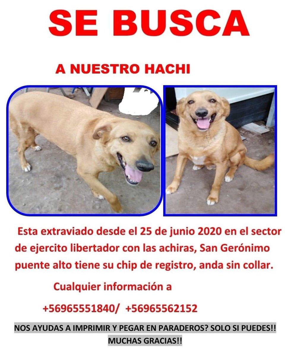 Difundo: buscan a este perrito, responde al nombre de hachi , perdido en #PUENTEALTO tiene chip, sin collar @kattykowaleczko @TonkaTP @KathySalosny rt https://t.co/cuJepmUrrP