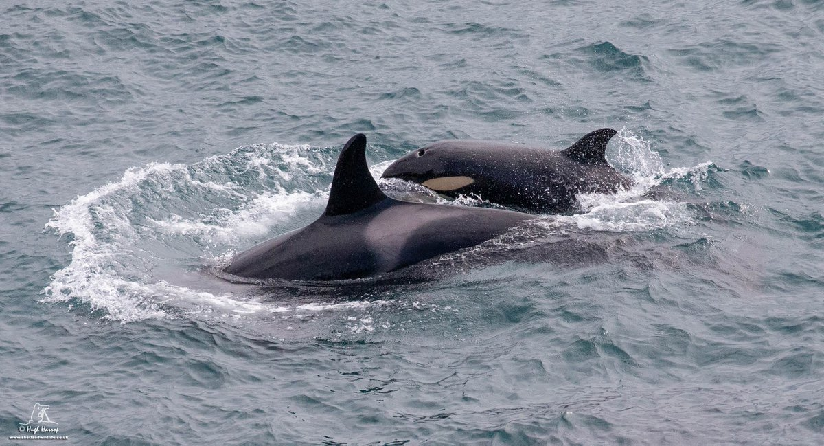 The youngest member of the North Isles Community 27s #Orca pod - now around 12 months old - alongside mum off Sumburgh Head, #Shetland yesterday.
