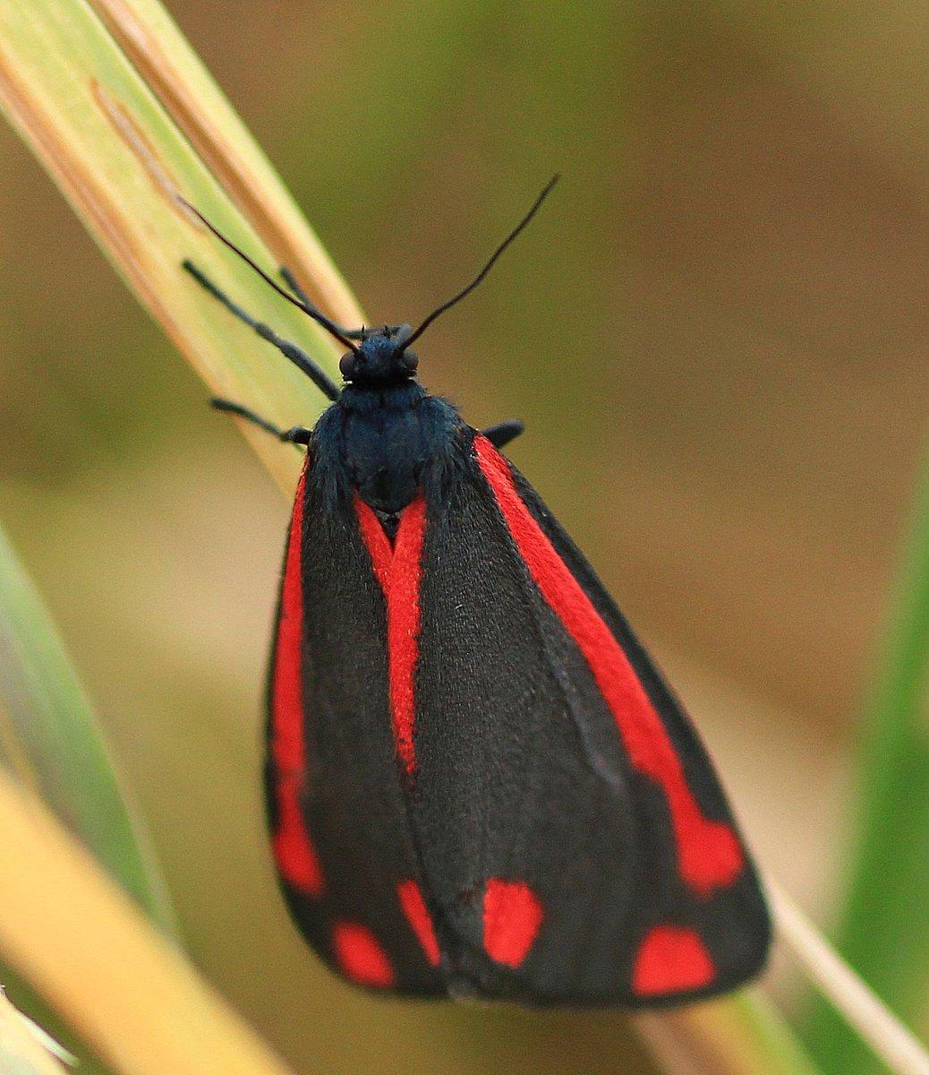 Cinnabar moth - and the next generation - for #worldmothsweekend