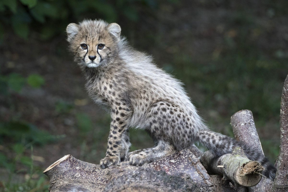 Colchester Zoo's adorable cheetah cubs emerge from den for the first time - Thurrock Gazette https://t.co/Np5czJSVLr via @bigcatscom #cats #wildcats https://t.co/RSh7e7rQgl