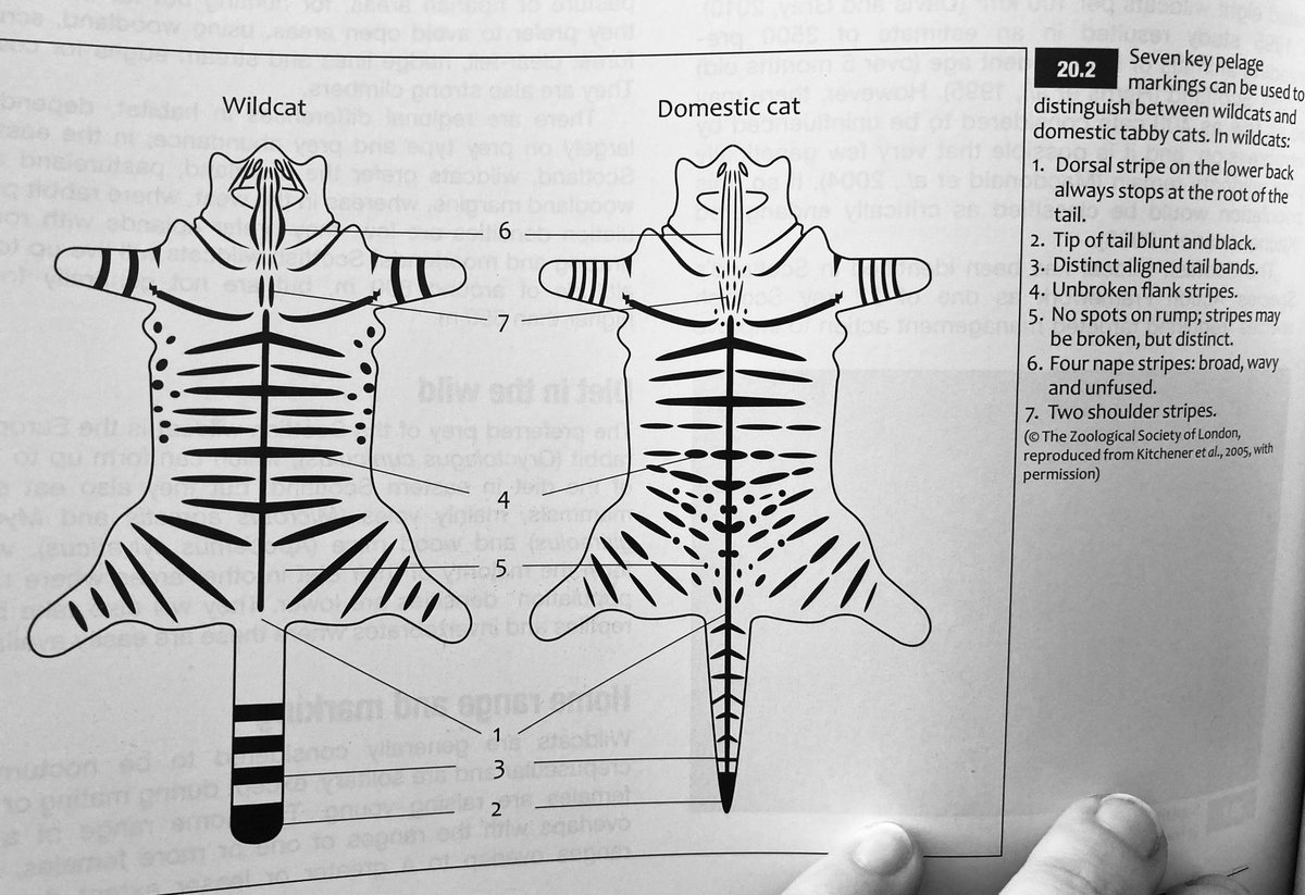 Can you tell your #wildcats from your domestic tabby #cats? Check out this handy body map 👇🏻  @SaveOurWildcats @NatureBftB @NatureUK @nature_scot https://t.co/mtE323aR0l