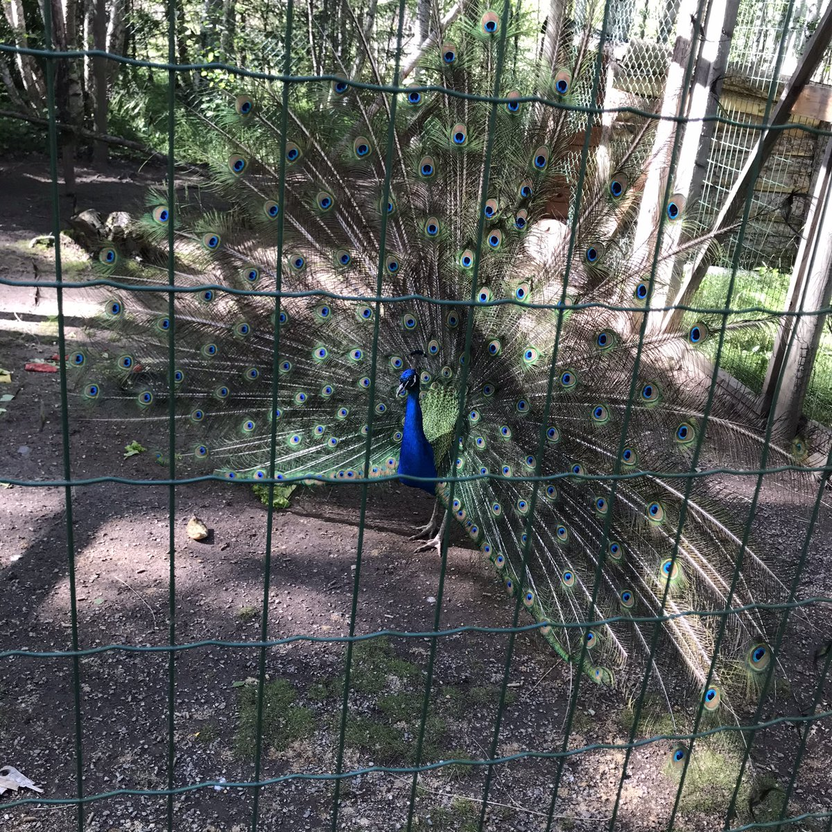 Word is spreading in the zoo about #LUFC lead and @Kalvinphillips @Patrick_Bamford goals and now the peacocks are out in fashion! https://t.co/NuWpxYjFlm