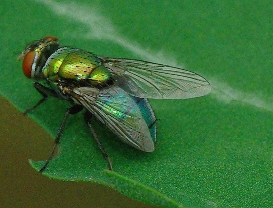 Common Green Bottle Fly  Nobody #likes these #buggers but they are around.   #aboutsuuz #photography #art #beauty #insects #color  #followback #friends #look #swag #tweegram #follow #twitterers #macro