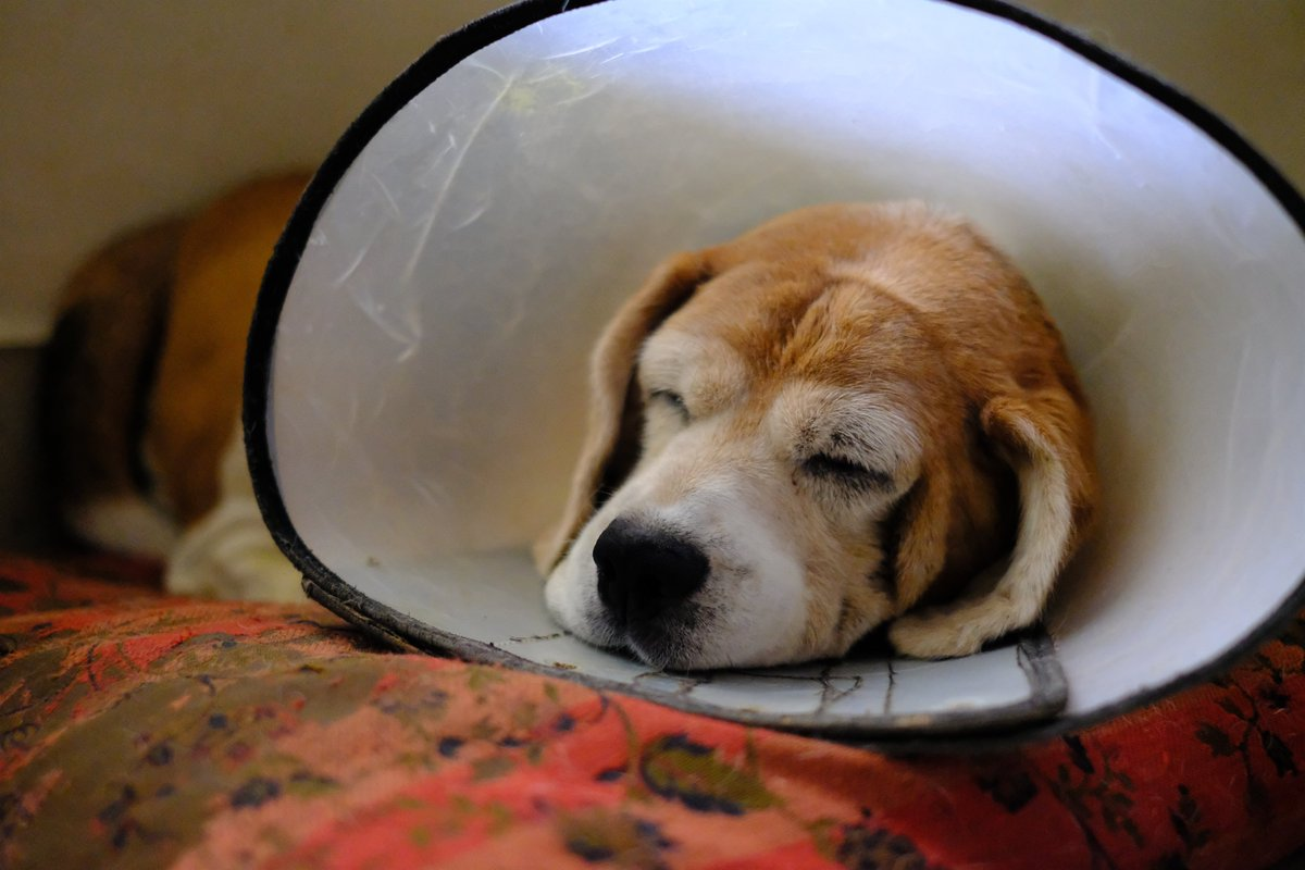 My #beagle sleeping peacefully. #fujifilm #fujifilm_xseries pic.twitter.com/BqS7bY9lS2