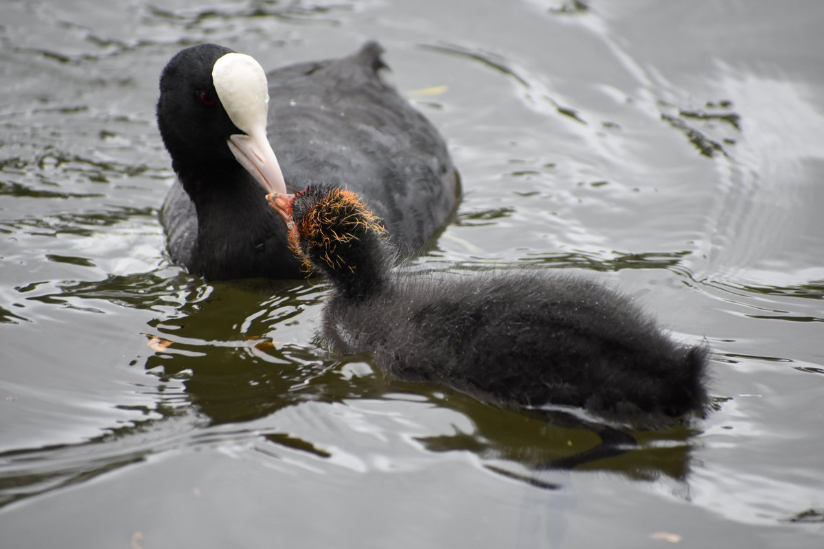 Motherly love, coots #kingstonuponthames #NaturePhotography #birdphotography #nikonphotography pic.twitter.com/QmcKr29d9e