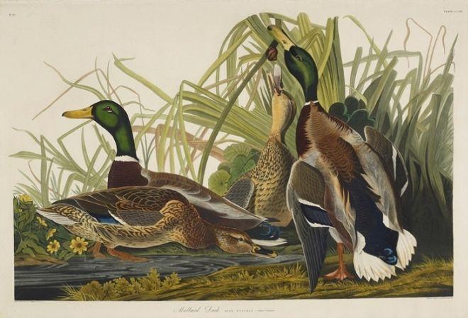The Magnificent #Birds #Paintings Of ##Artist John J. Audubon - https://t.co/INXvgN4Xux #JohnJAudubon #WatercolorPaintings, https://t.co/9gNvCxm0Mp