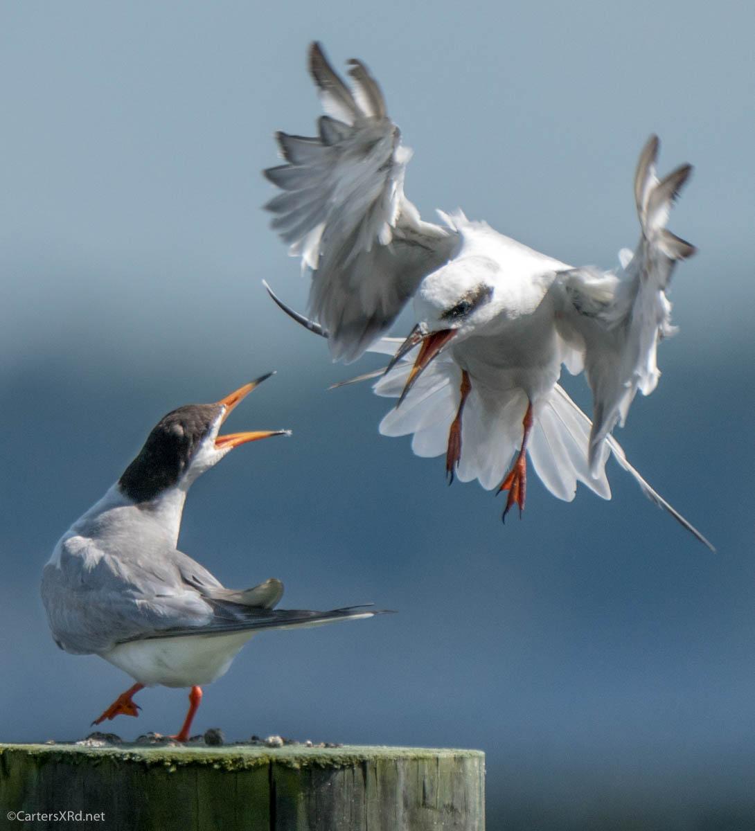 King of the Hill, Forsters Terns, Belhaven NC, Thursday #birdwatching #birds #birdphotography #birding #birdsofinstagram #NaturePhotography #NaturalBeauty #naturelover https://t.co/6em16ovJ0W