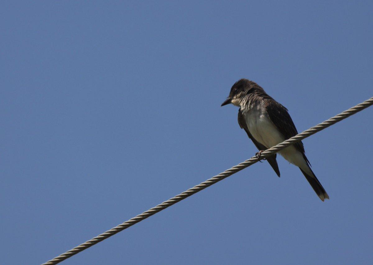 Eastern Kingbird  #birds #birding https://t.co/3B9bjHQWCx
