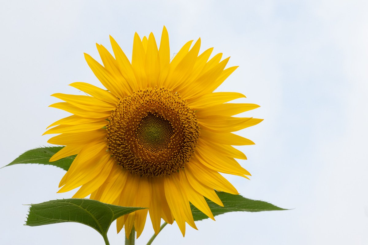#sunflowerfield #summerparty #summercollection #sunflowertattoo #okularnica #sunflowers #summerfood #tagify_app #summervibe #summerflowers #summerlook #daytripping #summersolstice #summerweather #summerlifepic.twitter.com/k2ayZB5tVU