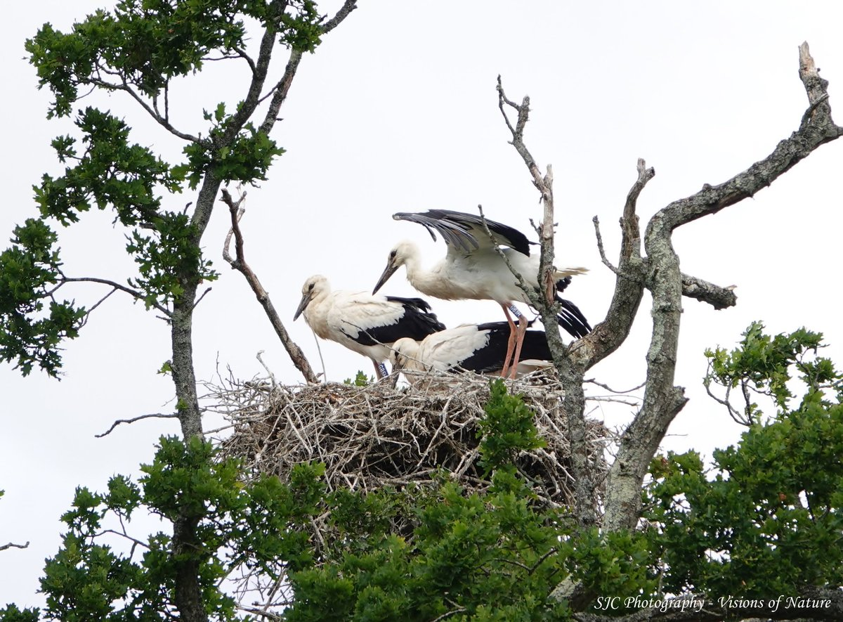 A little piece of history yesterday. Minutes after I took this photo, one of these white stork chicks (the first chicks born in the UK for 600 years) flew from the nest - what a moment! #birdtonic #TwitterNatureCommunity #naturelovers #birdwatching