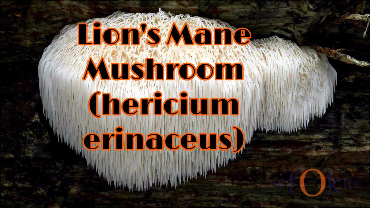 The #health benefits of Lion's Mane #Mushroom are beyond this world. Improve your #brain . Prevent #cancer. Fight #diabetes. Rich in #antioxidants. Regulate and prevent #multiplesclerosis and #schizophrenia . It's a bad ass #supplements  https://t.co/RBjP8abrav https://t.co/55JwHT0nPt