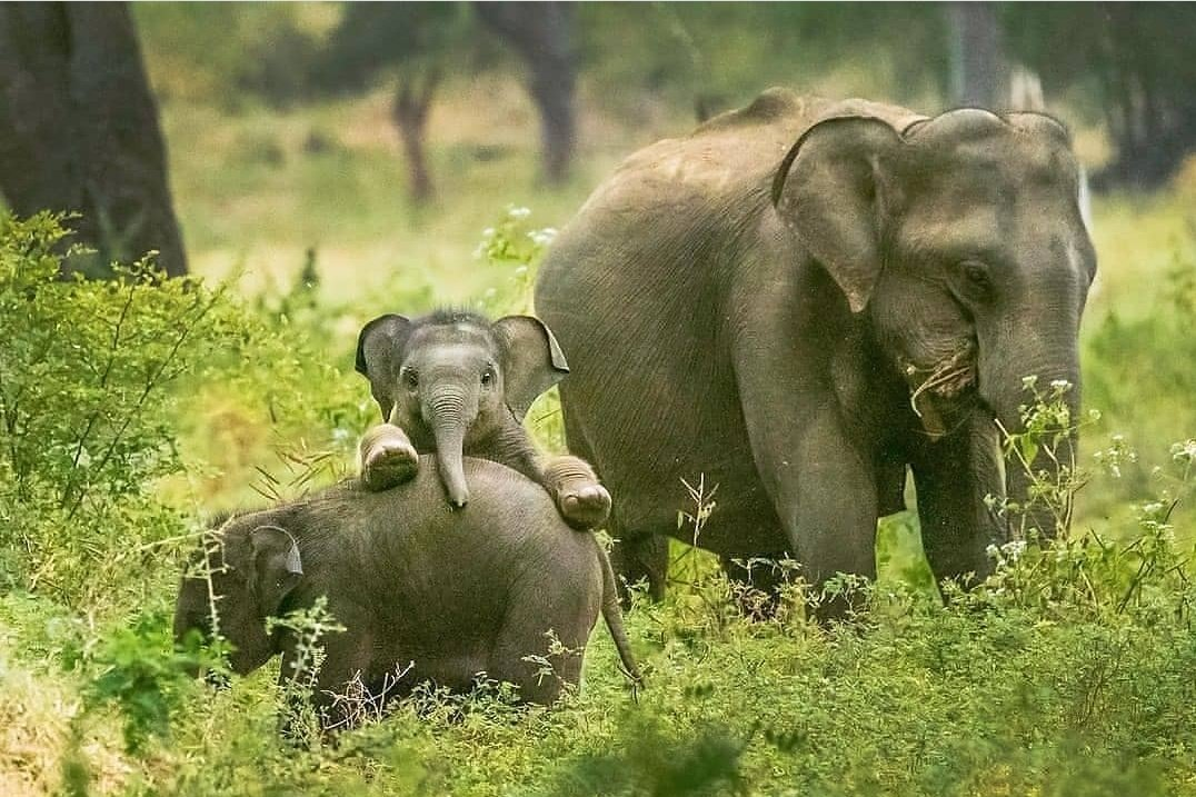 Let me see who are they! 😍😍😍😍 #babyelephant  #cuteanimals  #calf https://t.co/YMAJLsboO1