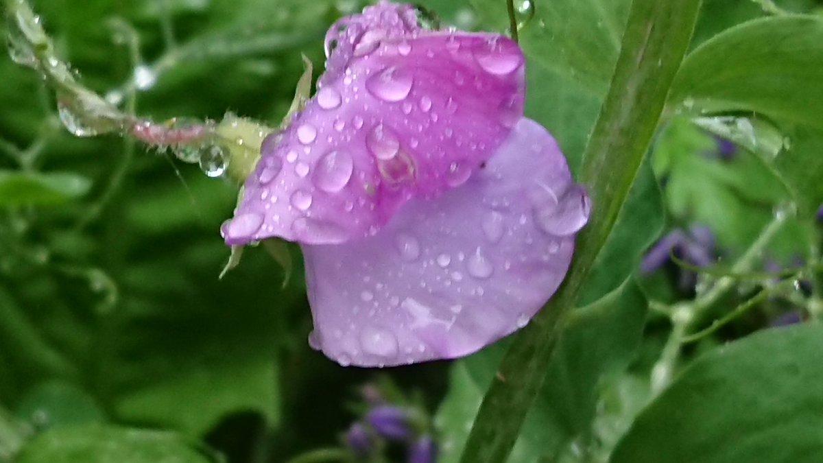 Sweet peas in the rain in my garden today ☔ #gardening https://t.co/OHOyUkPO0E