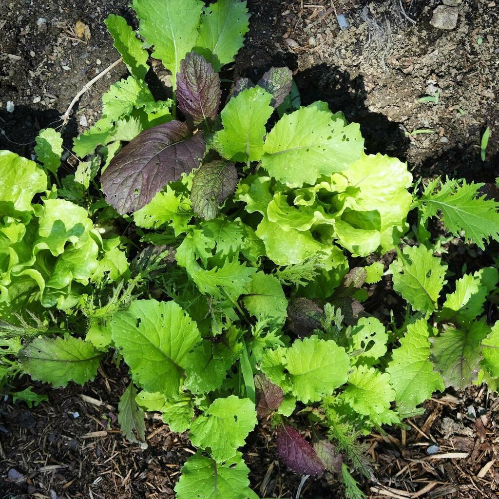 Baby greens. #gardening #saladgreens #lymenh #hometerroir https://t.co/H2DDu9zfQn