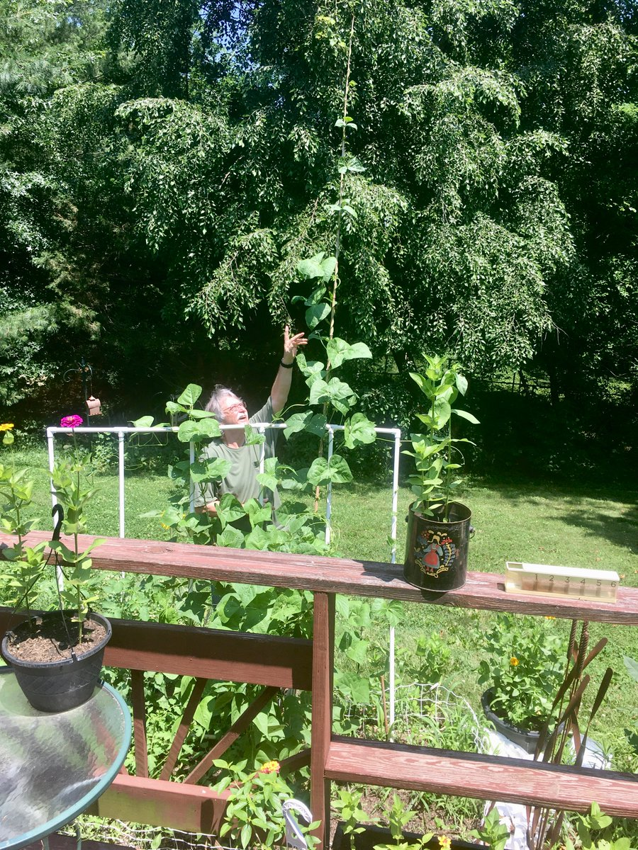 My husband is growing pole beans. I feel like we are living in a Jack-in-the-Beanstalk story. #fairytale #Missouri #gardening https://t.co/tsTtHMyqPj