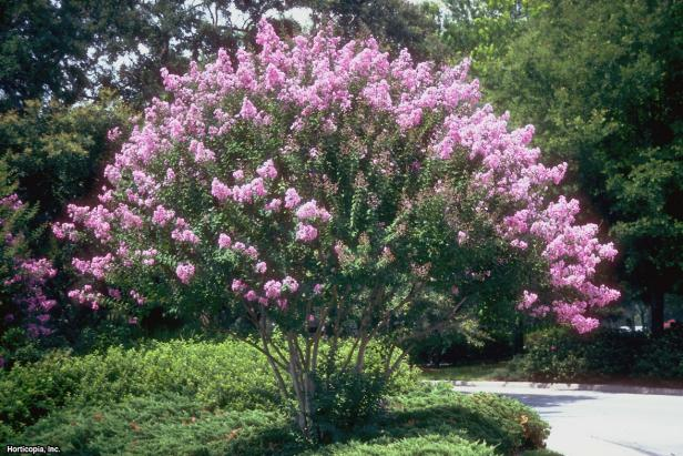 Crape myrtles are wildly popular in the South. The larger varieties grow quickly providing shade in addition to seasonal color. They are simple to grow. They love a sunny location and are heat-resistant.  Newer cold-hardy varieties are available. ~ #Gardening #Landscaping https://t.co/tSwvkvzyIr
