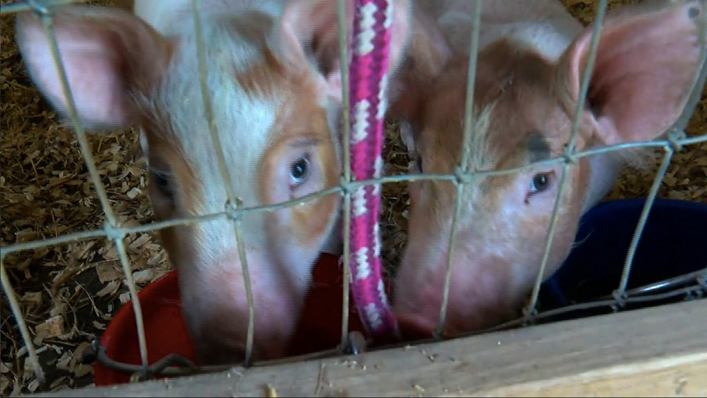 Facing Oversupply, Iowa Farmer Surrenders Two Pigs To Minnesota Animal Sanctuary https://t.co/8jmw2bmVf9 https://t.co/rOIk9mUEuf