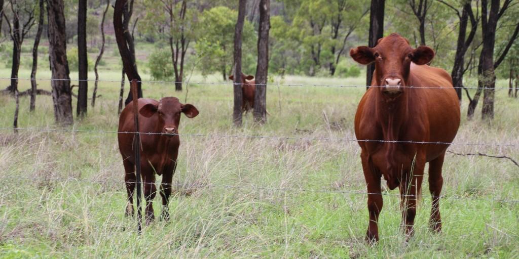 Improve your current breeder herd performance when you attend Breeeding EDGE being held at Taroom, 17-19 August.  Register today! Places are limited! https://t.co/xHc7xvdCoB @meatlivestock @SBTSTBTS #breedingEDGE #gettheEDGE #genetics #breedermanagement #selectiontools #EBVs https://t.co/M2eFLrUsR3