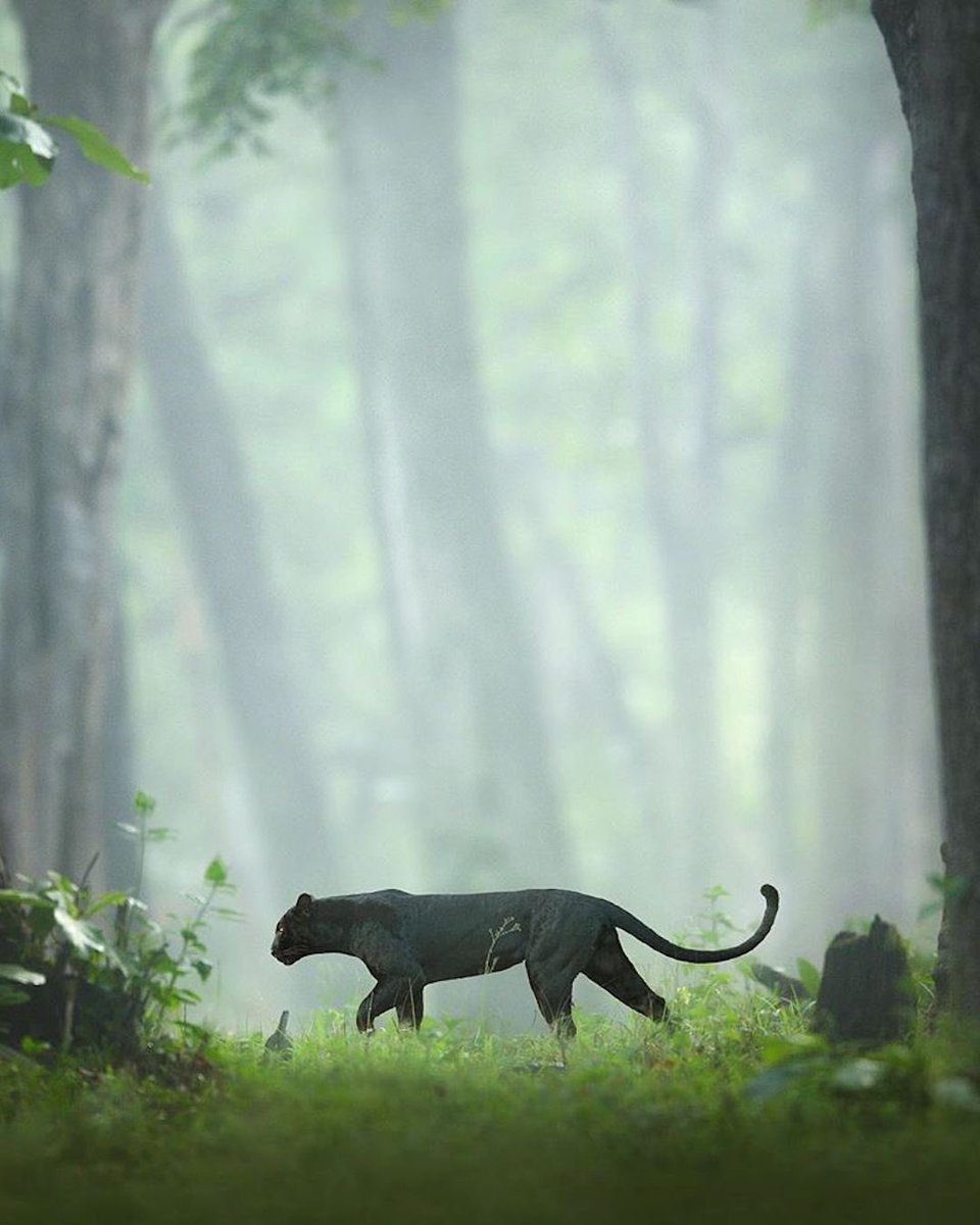 A black panther roaming in the jungles of Kabini, India.