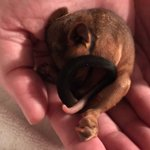 Image for the Tweet beginning: This little baby ringtail possum