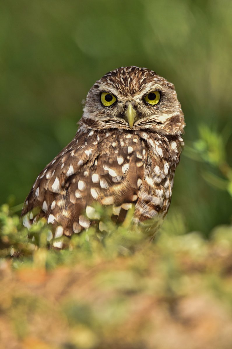 *VIEW FULL SCREEN PLEASE* I hope everyone is doing well and prepared for the next round of #Florida burrowing owl images!! #Birds #birdphotographypic.twitter.com/8YjMjlp65J