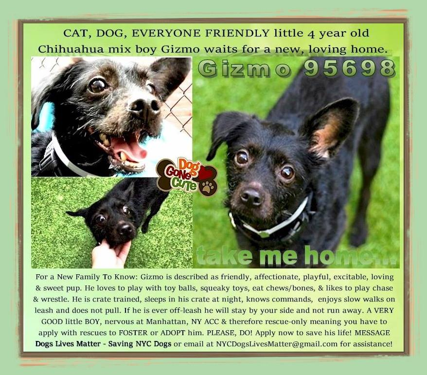 ** Waiting for YOUR HELP in NYC ** Meet adorable little 4 yr old Chihuahua mix Gizmo! A VERY GOOD little BOY, nervous at Manhattan, NY ACC & therefore rescue-only meaning you have to apply with rescues to FOSTER or ADOPT him. PLEASE, DO! Email at NYCDogsLivesMatter@gmail.com<br>http://pic.twitter.com/cUIu9WgLpU