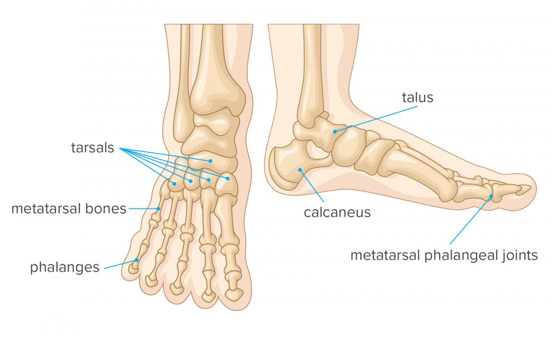 The human foot is a strong & complex mechanical structure containing 26 bones, 33 joints (20 of which are actively articulated), and more than 100 muscles, tendons, & ligaments. The joints of the foot are the ankle & subtalar joint & the interphalangeal articulations of the foot.pic.twitter.com/adqRUj7j21