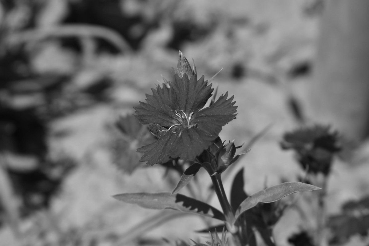 #Flower #blackandwhite #monochrome #photo #photography #picture #image