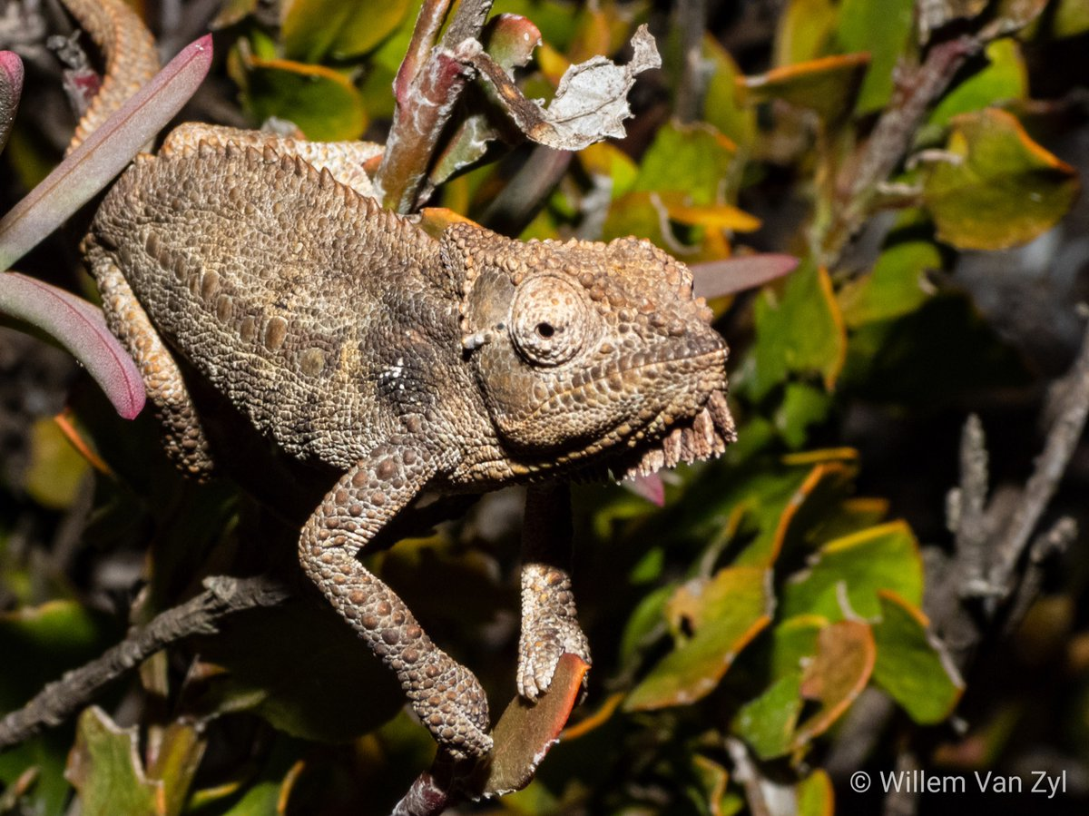 Namaqua Dwarf Chameleon (Bradypodion occidentale) from Lamberts Bay, Western Cape.  See more:   #photography #photo #nature #photooftheday #instagood #picoftheday #southafrica #wildlife #photos #chameleon