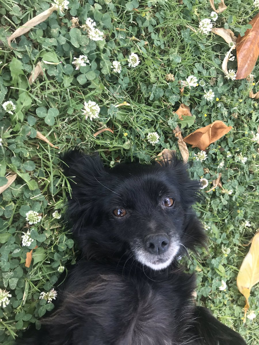 this is my dog venus. we have had her for the last 12 years, and, unfortunately, we came back home to find that she was gone. she is a black, long haired chi-weenie mix. she is about 12-15 pounds and has a pink collar. she loves cuddles and is extremely sweet. 1/2 <br>http://pic.twitter.com/4lGpiy4Wub