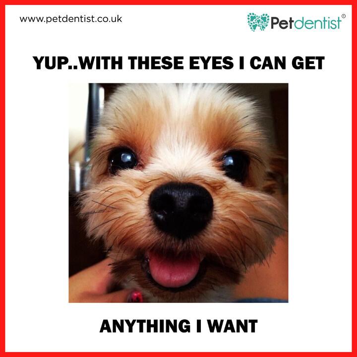 "All it takes is a ""pretty please"", *batting eyes* and my wish will be your command! http://www.petdentist.co.uk . . . #petdentist #petmemesdaily #petmeme #dogmemesdaily #doggomeme #funnydogs #prettyeyeddogs #doggosbeingdoggos #memedog #dogsofinsta #dogstagram #lovedogs #dogslife pic.twitter.com/0HkbMs2RNm"