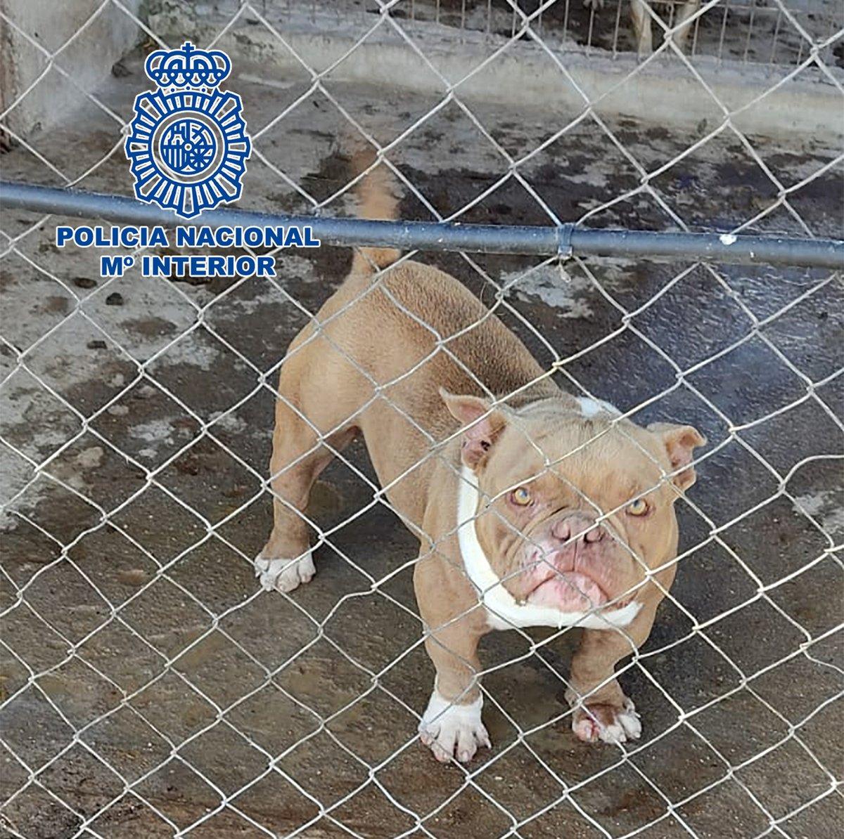 🚩Desmantelado un criadero ilegal en el que rescatamos a 17 cachorros -14 #perros y 3 #gatos-  en pésimas condiciones higiénico sanitarias.  En Don Benito (#Badajoz) y #Córdoba    #SomosTuPolicía https://t.co/mUIGxg7NvQ