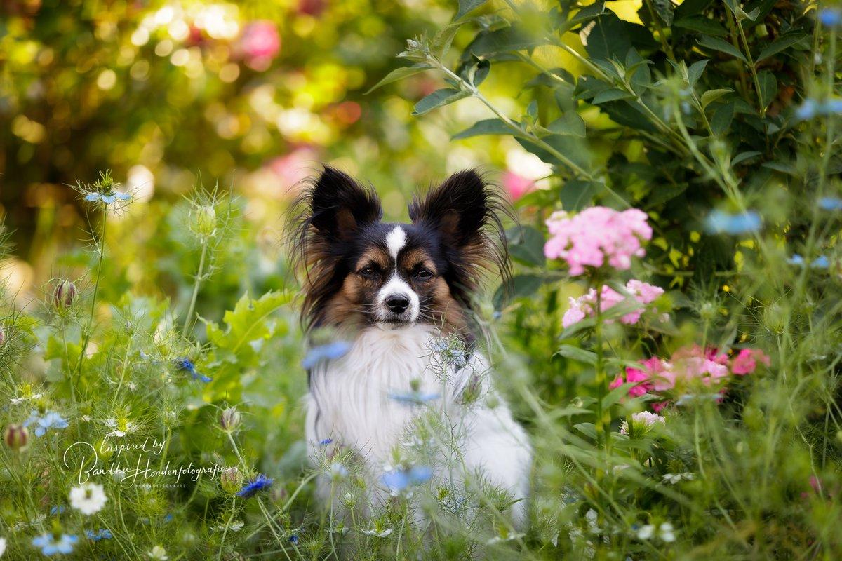 #vlinderhondje #papillon #dogsoftwitter #dogsofinstagram #dogphoto #fotoshoot #photoshoot #dogportraitpic.twitter.com/2V0tj82moB