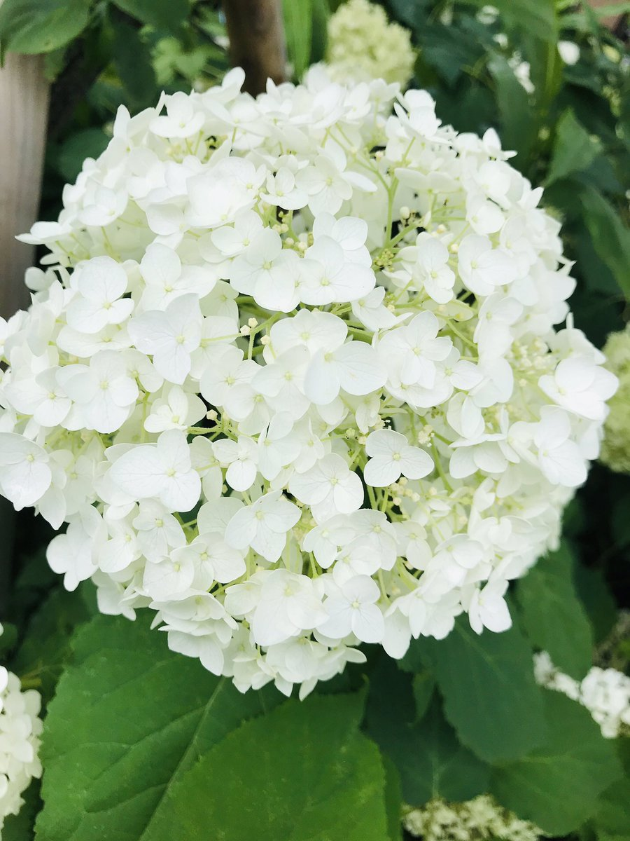 White hydrangea stands for broad mind  BE a really broad-minded and unprejudiced person  #FlowersForHana #RIPHanaKimura https://t.co/wvGn3yqQfX