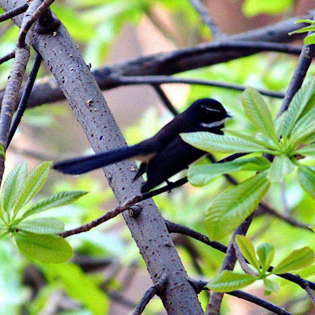 The white-spotted fantail or spot-breasted fantail outside my window in Bandra east, Mumbai, India.  It is a small passerine bird and was formerly considered a subspecies of the white-throated fantail. Wikipedia https://instagr.am/p/CCQ1jqRAXC3/ pic.twitter.com/8i3TyMcTFQ