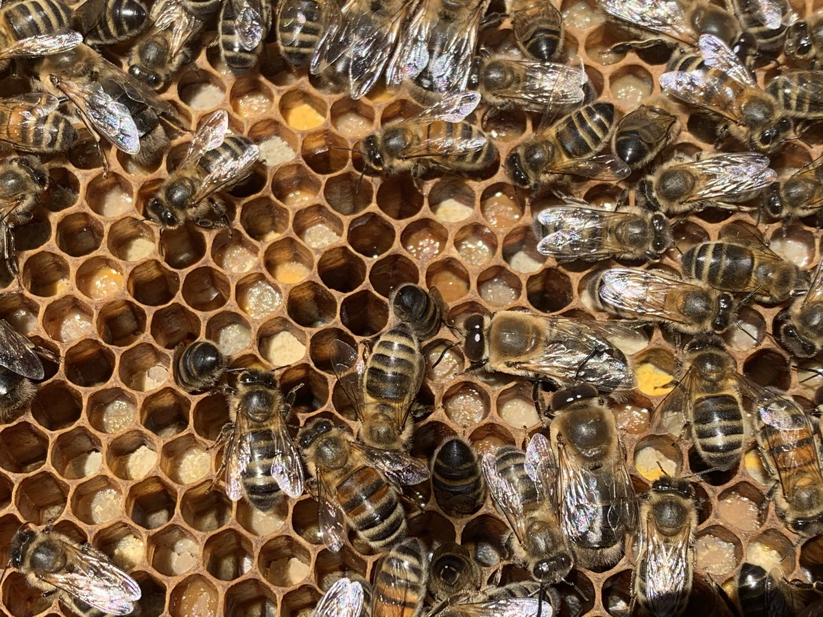 Lots of this and that on today's full apiary inspection and we found our wandering queen so we'll be able to take honey off one of our monster colonies in 3 weeks time #beekeeping #pollen  pic.twitter.com/YGmA09ed69