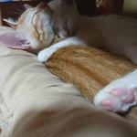 Image for the Tweet beginning: 幸せ空間 #猫好きさんと繫がりたい  #猫のいる暮らし #cat #シマホネコダスケ