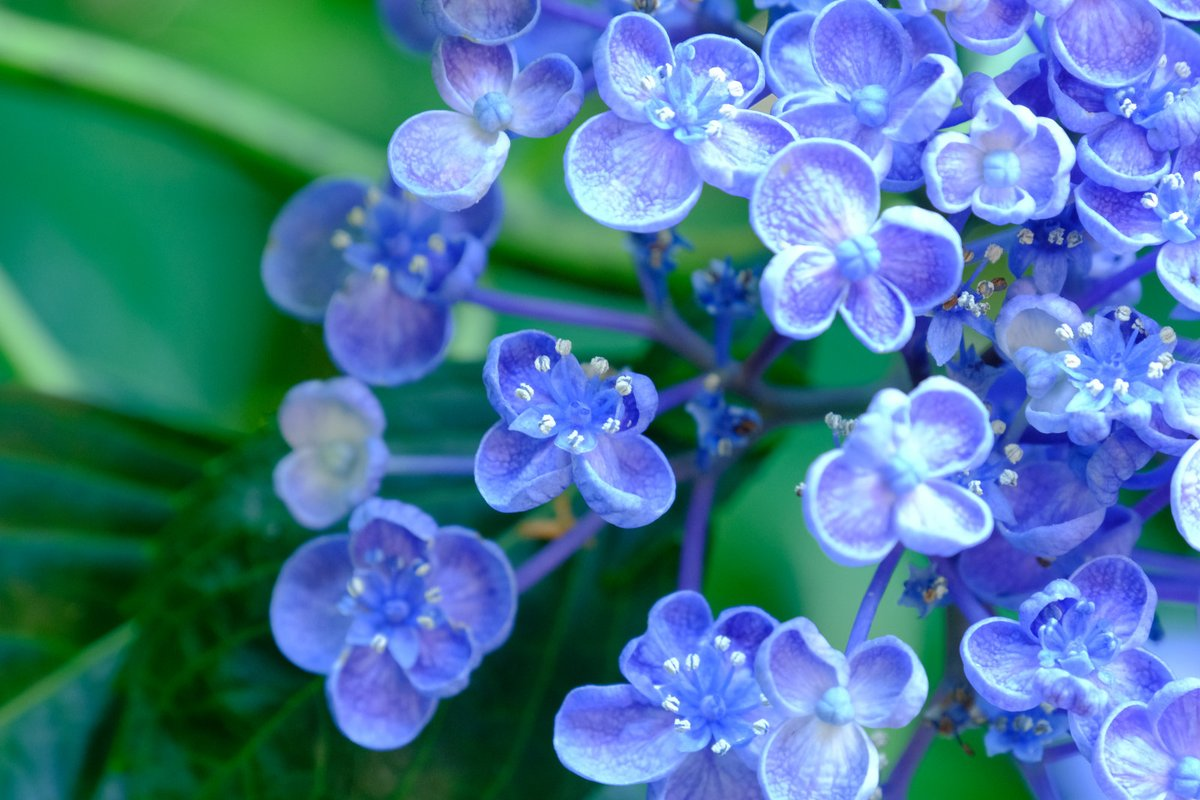 紫陽花 先祖返り