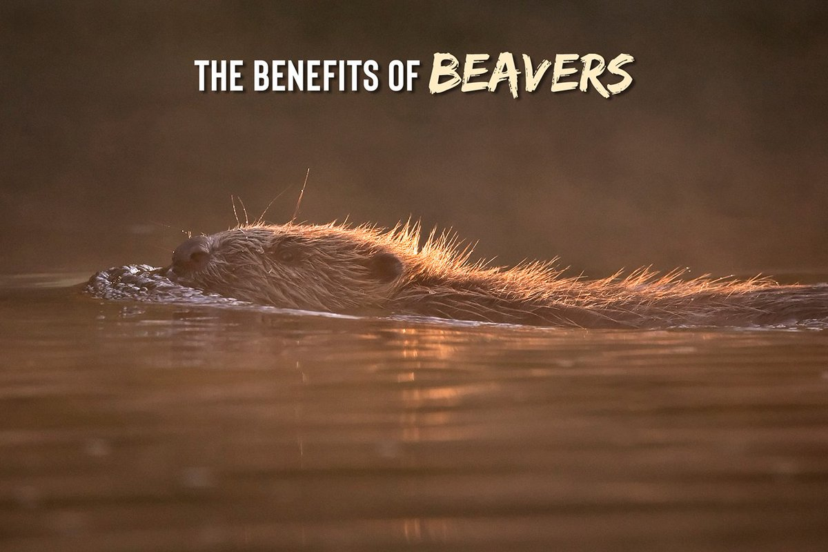 THREAD Yesterday we launched our latest #Rewilding Story, Making Beavers Mainstream: scotlandbigpicture.com/rewilding-stor… Today, were looking at the benefits of beavers and why its vital we look at translocation, rather than culling, to reap the rewards of this keystone species. 1/11