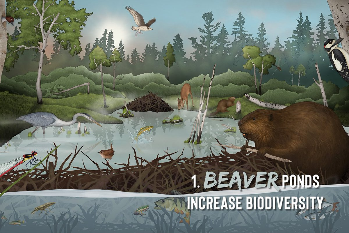 1) Beavers are ecosystem engineers. They build dams and raise the water level to move around safely whilst foraging. These newly formed wetlands create the perfect habitat for a diverse array of species. From wildfowl to woodpeckers & dragonflies to diving beetles. 2/11