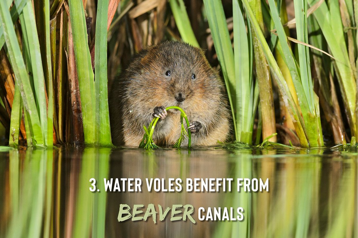 3) Beavers create canals to travel between foraging sites safely. These corridors of wetland habitat provide the perfect landscape for water voles to thrive in, a species which has the unenviable title of the UKs fastest declining mammal. 4/11