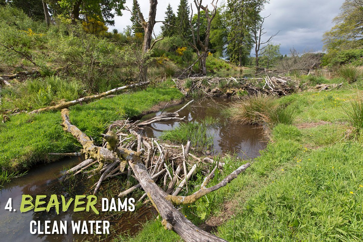 4) Beaver dams may look messy, but theyre highly effective. Not only do they hold back water, but they trap suspended sediments and filter out nitrogen and phosphorus. These pollutants can cause issues with algae growth and oxygen depletion downstream. 5/11