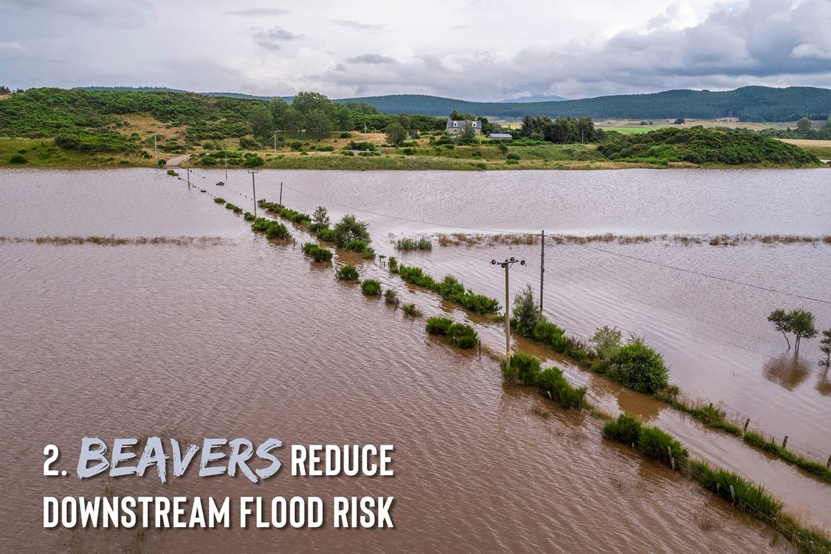 2) Beaver activity reduces the risk of downstream flooding by slowing the flow during storm events and by storing vast quantities of water in a series of pools. Man-made flood defences cost millions of pounds of public money. Heres a natural solution that works for free! 3/11