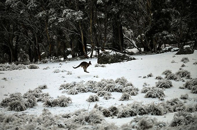 Making tracks across the southern end of the Great Dividing Range. A kangaroo hops through the snow at Wadbiliga National Park near Nimmitabel , Australia, Lukas Coch/EPA] https://t.co/wkY3FDmDdS