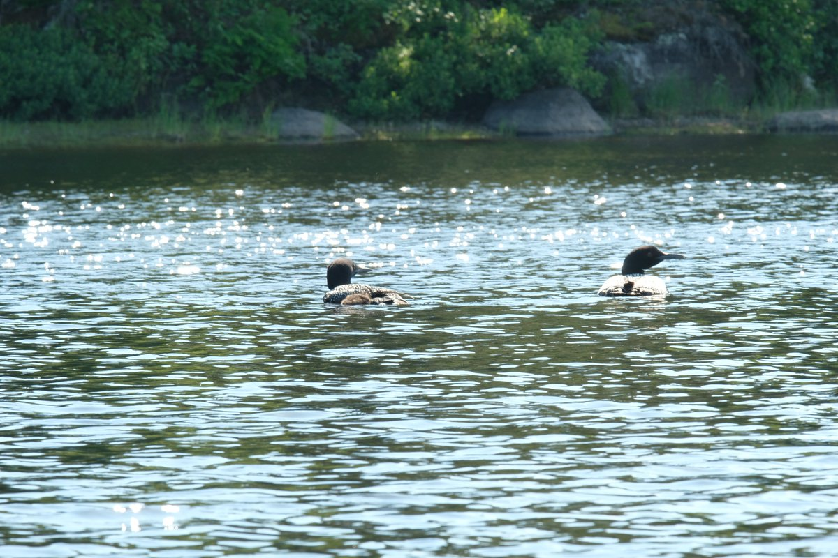19/17 (or 2/3 today) ...And here are some better shots of the loons and swans from BWCA... <br>http://pic.twitter.com/oiHBYYim0X