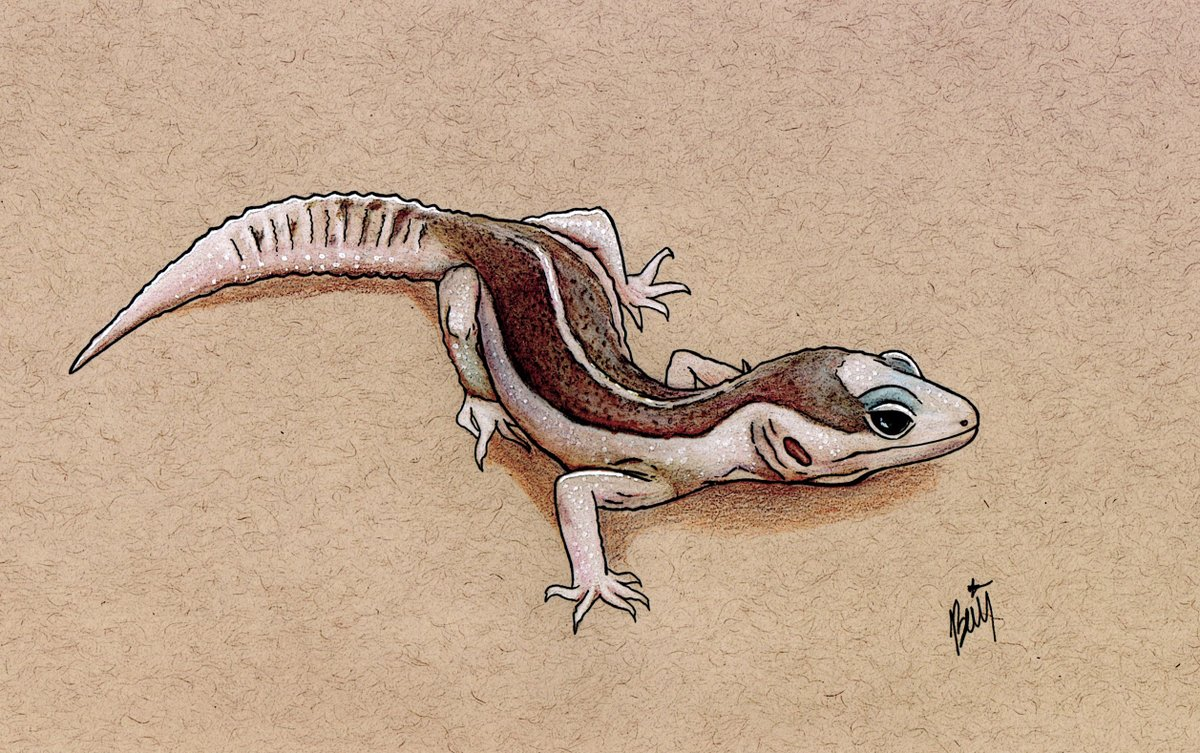 New leopard gecko sketch #Illustrator #ArtistOnTwitter #pet #drawing #animal #sketch #illustration #artpic.twitter.com/ihaOHCDs3P